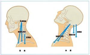 二頭筋 屈曲と伸展