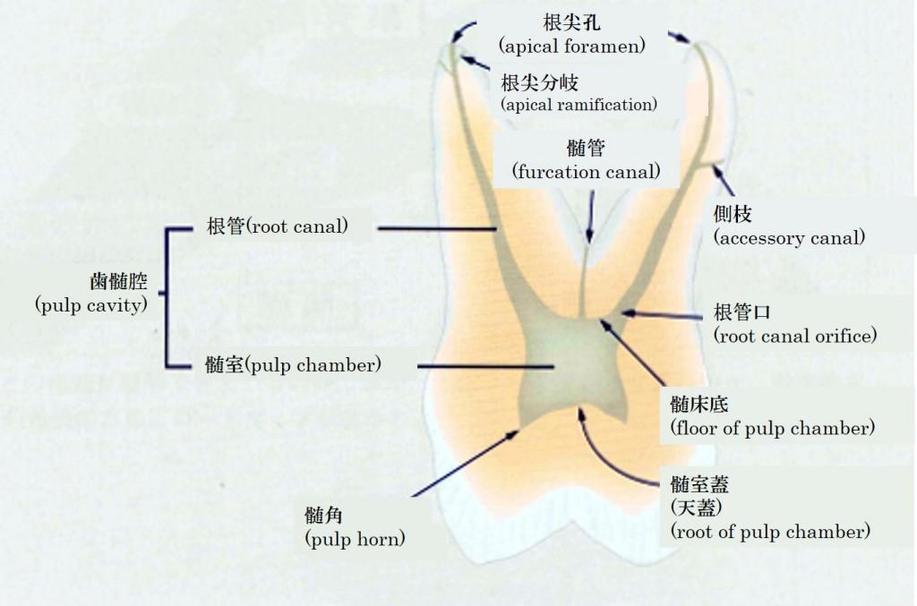 歯髄腔の形態(根管、髄室、根尖孔、根尖分岐、髄管、側枝、根管口、髄床底、髄角、髄室蓋(天蓋))