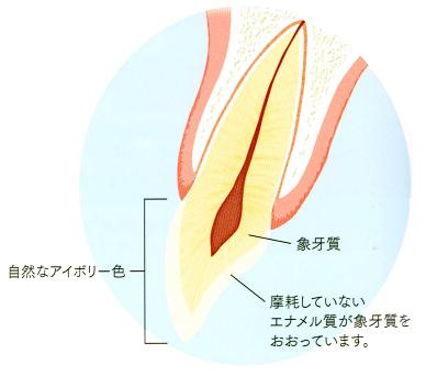 若い頃はエナメル質が象牙質を覆っています